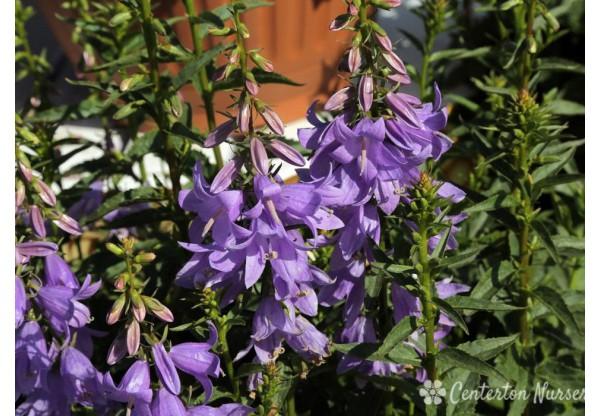 """Колокольчик """"Gaudi violet"""""""