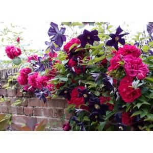 Вьющиеся и плетистые растения