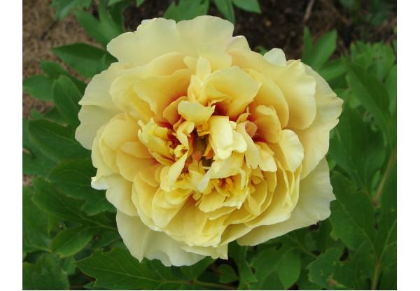 "Пион Итона ""Garden Treasure"""