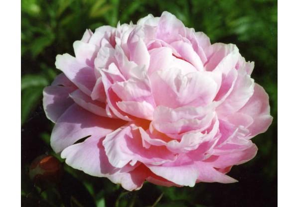 "Пион молочноцветковый ""Madame Jules Dessert"""