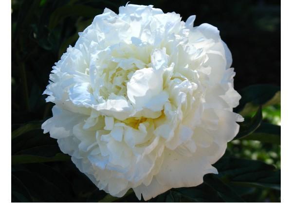 """Пион молочноцветковый """"Marie Lemoine"""""""