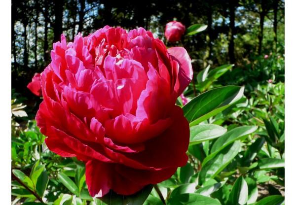 """Пион молочноцветковый """"Red Sarah Bernardt"""""""