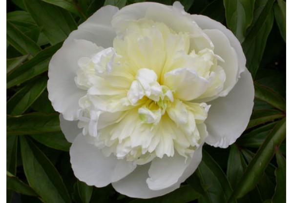 """Пион молочноцветковый """"Duchesse De Nemours"""""""