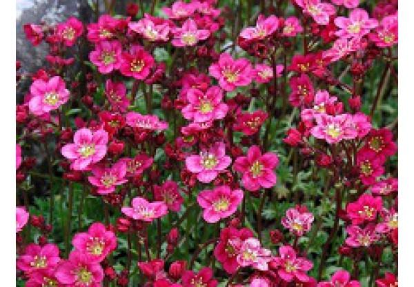 "Камнеломка Андерса ""Blütenteppich"""