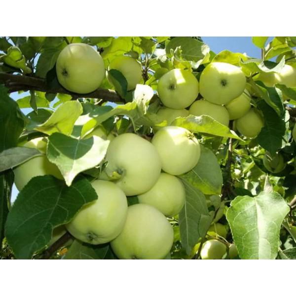 """Яблоня """"Белый налив""""(54-118)"""