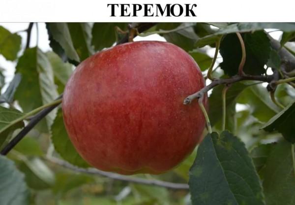 """Яблоня """"Теремок"""" (54-118)"""