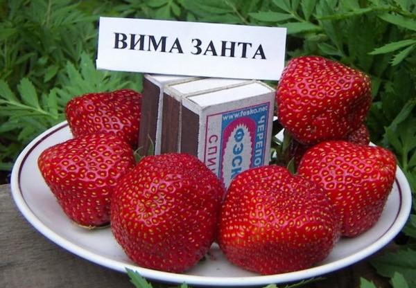 """Земляника крупноплодная """"Вима Занта"""""""