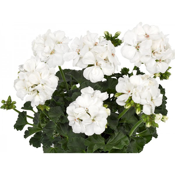 """Пеларгония зональная темнолистная """"Toscana Castello white Isabella"""""""