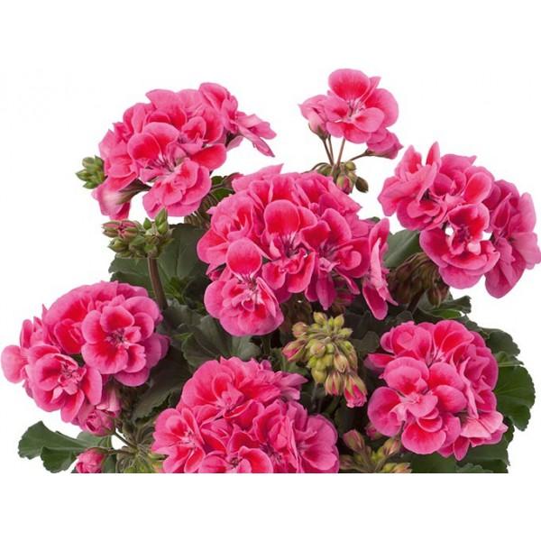 """Пеларгония зональная темнолистная """"Toscana Dolce Vita rose eye Claudio"""""""