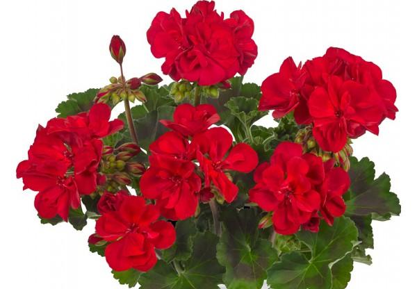 """Пеларгония зональная темнолистная """"Toscana Dolce Vita dark red Gisela"""""""