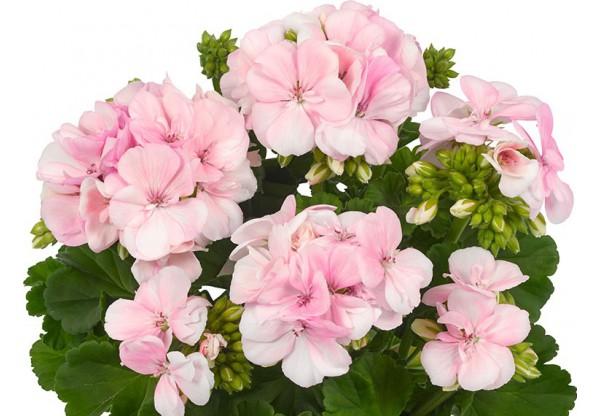"""Пеларгония зональная зеленолистная """"Toscana Smart Light Pink"""""""