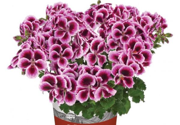 """ПЕЛАРГОНИЯ зональная темнолистная Toscana Crispum Florena """"Purple"""""""