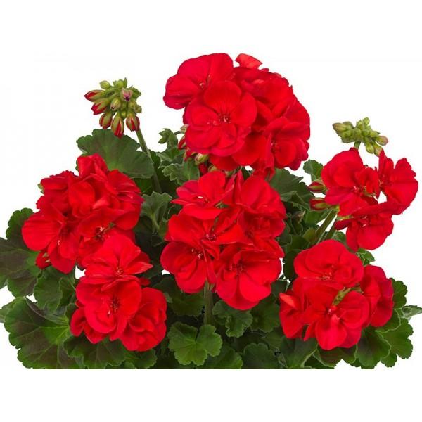 """Пеларгония зональная зеленолистная """"Toscana Eco red Friesia"""""""